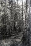 Elkinstown Path in Woods by Bert Call