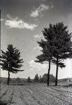 Pine Trees by Bert Call