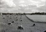 Grain Fields near Houlton by Bert Call