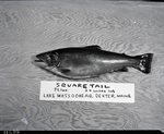 Square Tail, Lake Wassookeag, Dexter, Maine