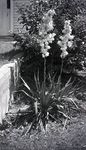 Yucca Plants in a Maine Garden by Bert Call