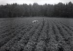 Maine Agriculture, Bean Field by Bert Call