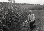 Maine Agriculture, Corn Crop by Bert Call