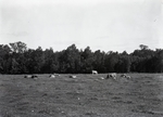 Maine Agriculture, Cows in Pasture by Bert Call