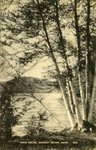 Rangeley Region White Birches Postcard