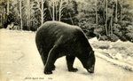 Maine Black Bear    Postcard