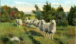 Sheep Standing All In A Row Postcard