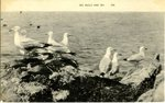 Sea Gulls and Sea Postcard