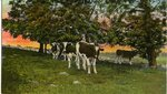 Cows in a Pasture Postcard