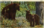 Mother Bear and Her Two Cubs Postcard