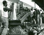Potato Harvest, Workers at Conveyor Belt