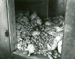Potato Harvest, Diseased Potatoes