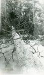 Lumbermen with Fallen Tree