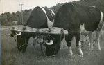 Maine Oxen