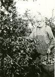 Frank W. Blaisdell Harvesting Apples